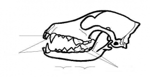 Identify what animal this skull belongs to. Then write its scientific name and common name as title, and label all parts and teeth.