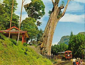 Fortunately, I found this picture on the web, taken in February 1970, a few months before our trip. The train and the tree are just the way I remember them. This tree finally collapsed in 1997 and now the Lulin Sacred Tree has been crowned king.