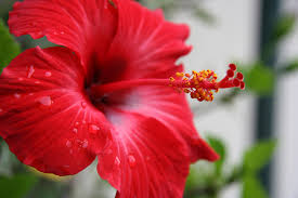 The red hibiscus has delicious nectar located deep inside the flower, at the base of the pistil.